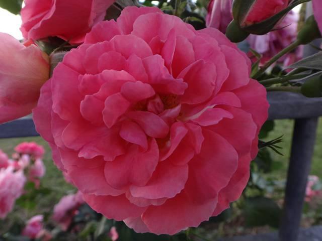 73º Premio Roma de variedade de rosas.