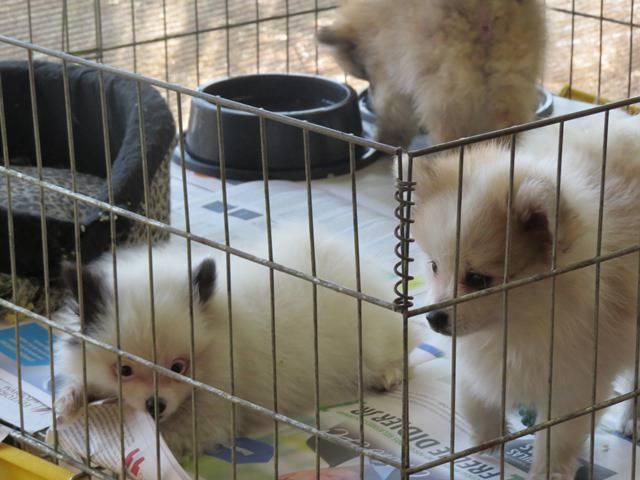 Venda de cães de raça. Foto: Adri Lourencini